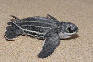Baula Turtle
